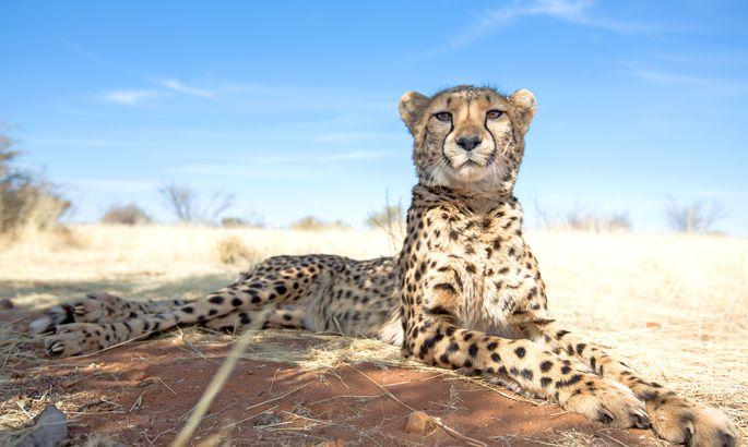 Ленч туристами: Семья французов чуть нестала добычей гепардов всафари-парке
