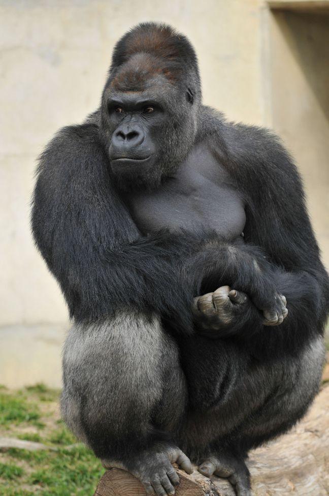 Читать про секс женщины и гориллы фото 316-837