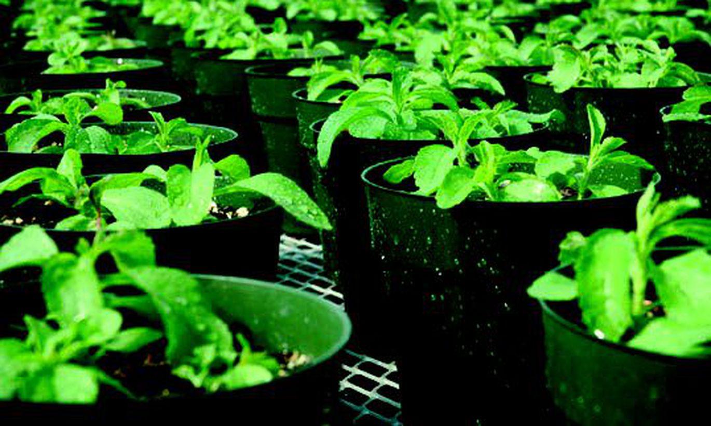 Стевия выращивание промышленное 89
