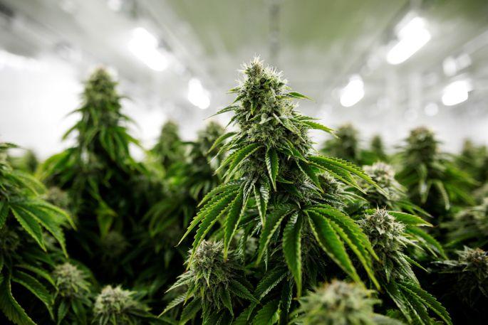 Марихуана трек все о сорте марихуаны мазар