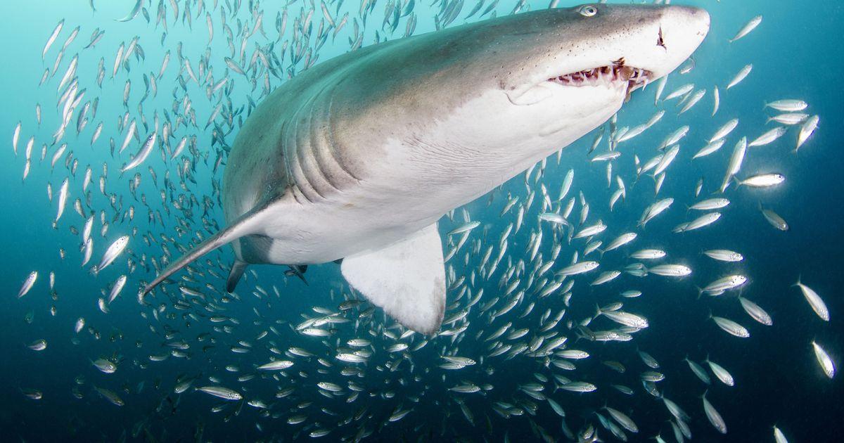 специальными египетские акулы фото группу