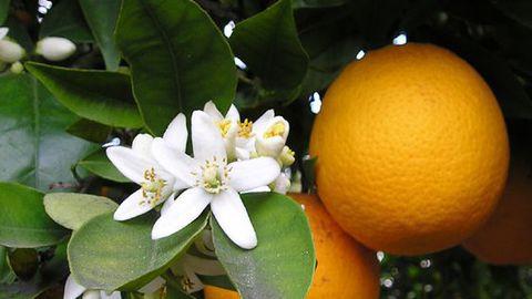 Apelsinimahla järsult tõusnud turuhind jõuab peagi poodi