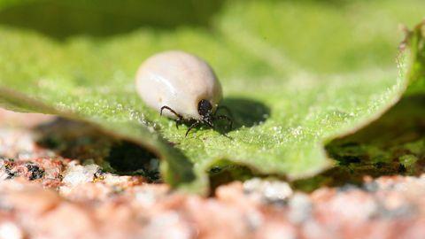 Eestis levinud puugiliikidest on haiguste levitajatena ohtlikud võsapuugid.