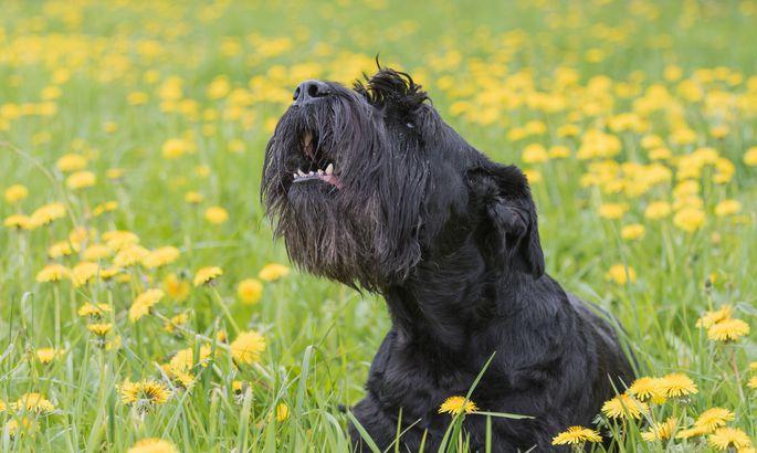 5c61fb766cf Loomaarst vastab: miks haugub koer ainult ühe inimese peale ...