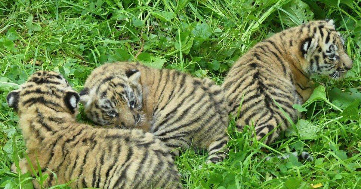 Galerii: tiiger Pootsmani järeltulijad on jõudsalt kasvanud