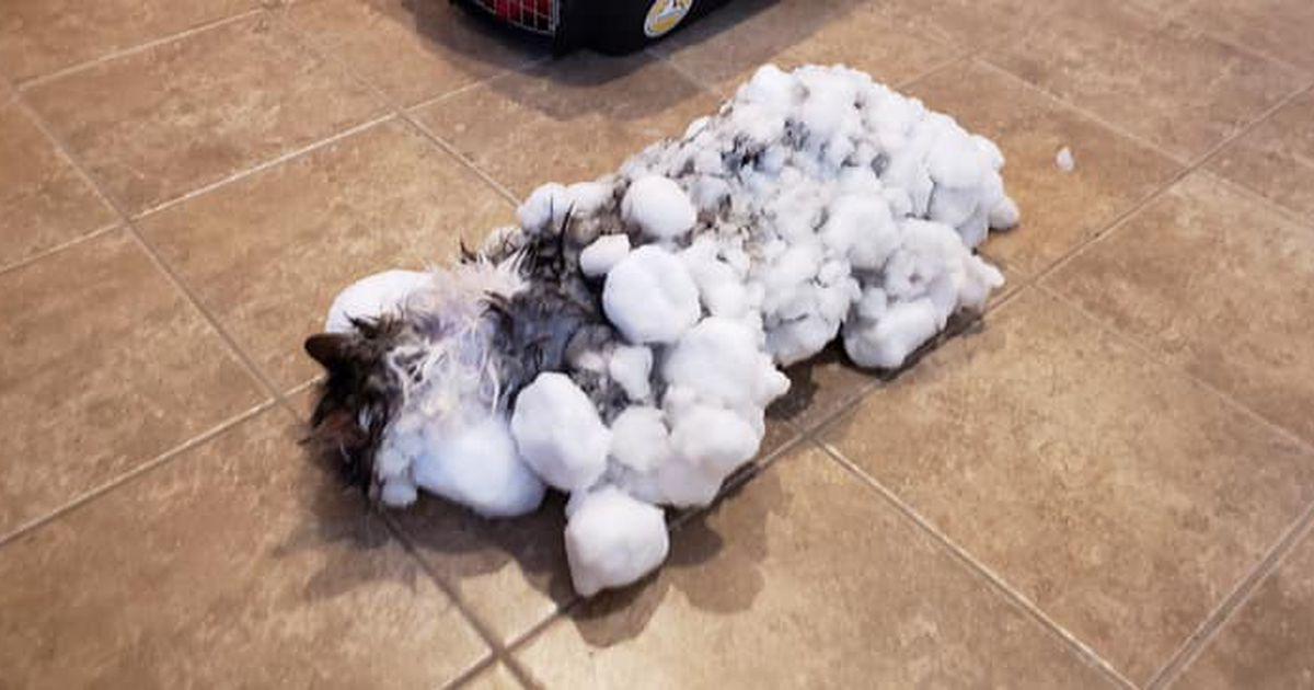 Fotod: lumme mattununa leitud kass jahmatas paljunäinud veterinaaregi